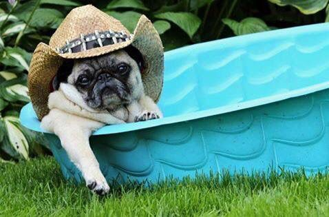 This It What Texas Pugs Do To Keep Cool With Images Cute Pugs