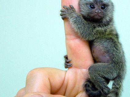 pygmy marmoset monkey - the finger monkey, so cute!