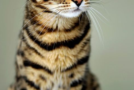 Bengal Cat - beautiful cats, I want one but vets say they