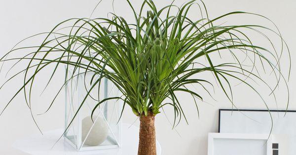 Beaucarnea tige une plante qui demande peu d 39 arrosage for Arrosage plante interieur