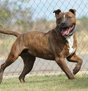 Brindle Pitbull Pretty American Pitbull Terrier Pitbull