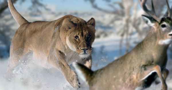 American Lion by philip72 on DeviantArt | Rare, unusual or extinct ...
