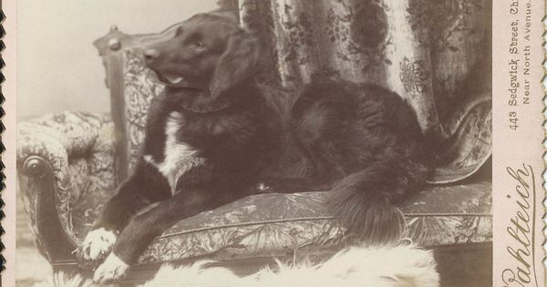 C 1890s Cabinet Card Of Dog Lying On Photographer S Couch On