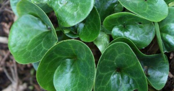 Asarum Europaeum A Really Lovely Evergreen Groundcover