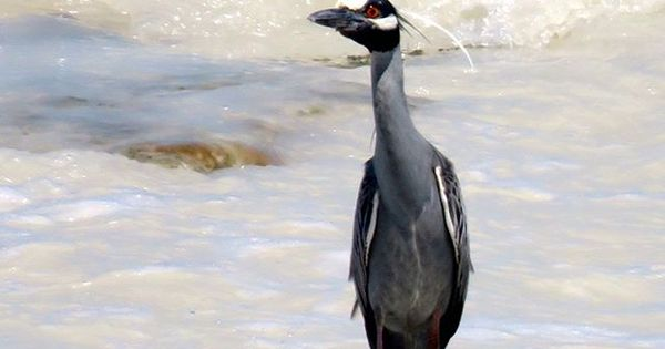 Colección: Garzas (Heron)