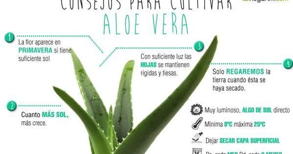 Aloe vera descripci n y cuidados plantas y jard n loe - Cuidados planta aloe vera casa ...
