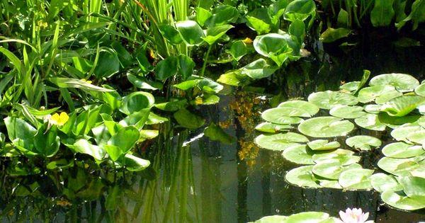 Water garden plants koi water gardens pinterest for Piante palustri laghetto