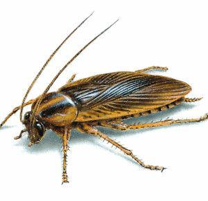 Como Acabar Con La Plaga De Cucarachas Chiquitas Exterminador Caseiro De Baratas Blattella Germanica Matar