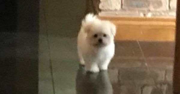 Maltese Male Puppy For Sale In Warrington Cheshire Preloved Puppies Pet Dogs Dogs And Puppies