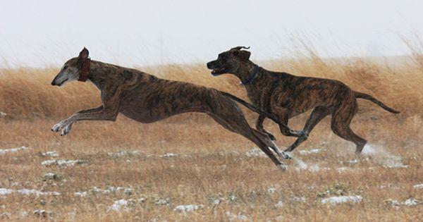 Pin On Greyhounds Dobermans