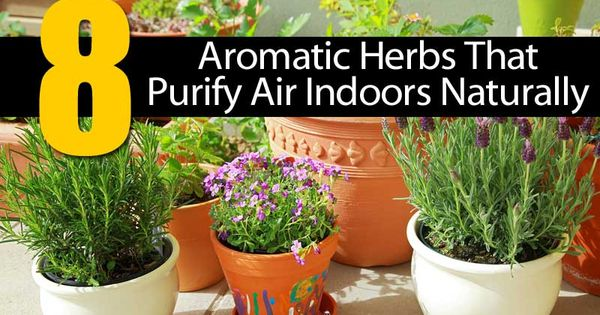 Eight Aromatic Herbs That Purify Air Indoors Naturally: Rosemary, Lavender (Lavandula spica