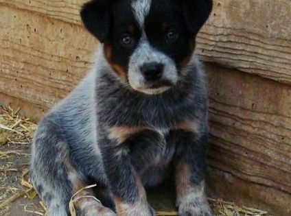 AAAHH = Australian Cattle Dog (Blue Heeler) puppy! We want to get