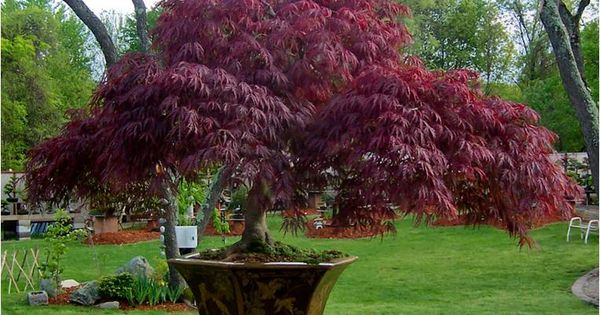 potted japanese maple japanese maples pinterest japanese maple gardens and container. Black Bedroom Furniture Sets. Home Design Ideas