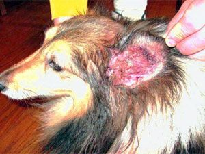 Ear Mites In 2020 Dog Ear Mites Dog Ear Mites Treatment Dog Treatment