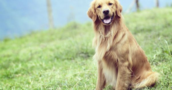 Handsomedogs Dobby Male 2 Years Old Golden Retriever Golden