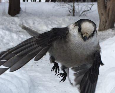 Canada Jay Coming In For Landing Feederwatch In 2020 Wild Birds Unlimited What Is A Bird Wild Birds