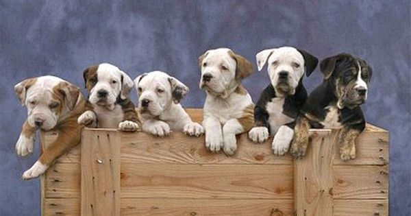 Catahoula Bulldog Information And Pictures Catahoula Bulldogs