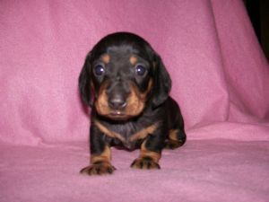 Dachshund Puppies In Arkansas Louie S Dachshunds Dachshund Breeder In Andrews No In 2020 Dachshund Puppy Miniature Long Haired Miniature Dachshund Miniature Dachshund
