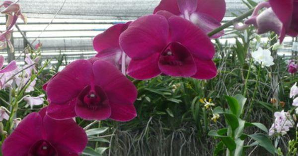 D Cherry Red Dendrobium Orchids Thrissur Kerala India Guruvayoor Klairvoyant Orchids Orchideen