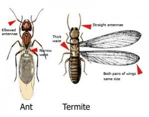 How To Tell Termites From Ants Http Www A1exterminators Com Termites Vs Ants Termites Winged Termites Termite Control
