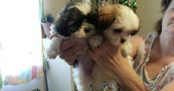 Dogs Puppies For Sale In Detroit Ebay Classifieds Kijiji Page 1 Shih Tzu Maltese Mix Puppies Dogs And Puppies