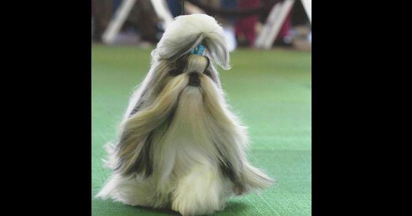 Jazzie Shihtzu Has Shih Tzu Puppies For Sale In Tacoma Wa On Akc