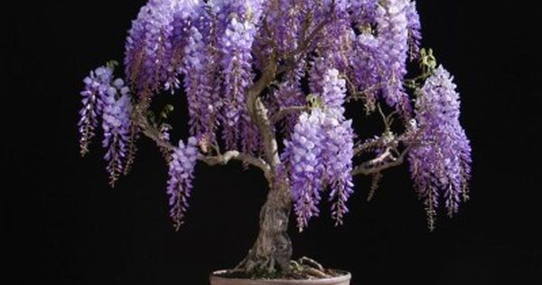 Bonsai Growers Highlight The Wisteria Bonsai S Flowers And Colour Rather Than The Tree Or The Branch Structure Wisteria Bonsai Bonsai Tree Types Wisteria Tree
