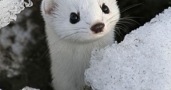 White Mink And Good Morning To You Cute White Mink