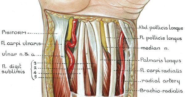 wrist anatomy pictures | Anatomy Atlas - Upper Limb (pg 2 ...