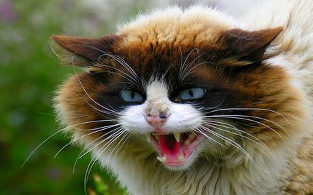 Very Angry Cat Desktop Nexus Wallpapers Angry Cat Cats Funny Cat Compilation