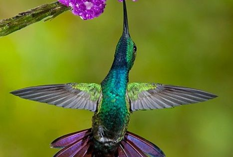 Look at the purple and green colors on this hummingbird! Just like