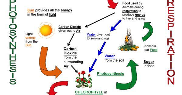 cellular respiration diagram worksheet photosynthesis and cellular respiration http www. Black Bedroom Furniture Sets. Home Design Ideas