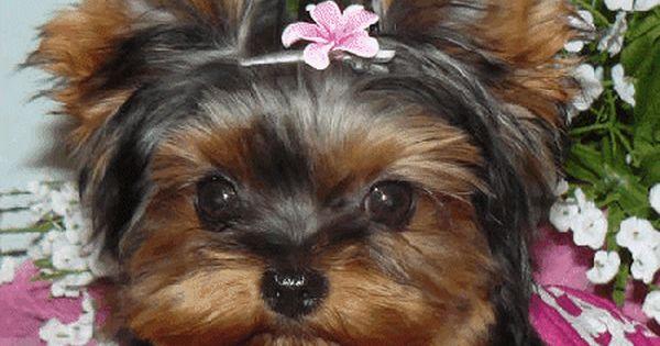 Yorkshire Terrier Puppy Yorkie Puppy For Sale Yorkie Puppy Yorkies For Sale