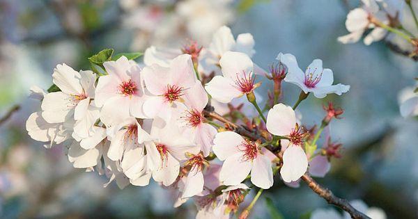 Grow Your Own Cherry Blossoms Yoshino Cherry Tree Yoshino Cherry Growing Cherry Trees