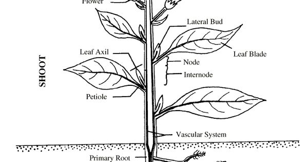 Generator Voltage Regulator Wiring Diagram Harley further Chapt2 likewise 32238 also The Cell besides Pruning And Training Established Kiwifruit Vines. on parts of a plant diagrams
