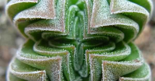Unusual succulent Crassula 'Buddha's Temple' green