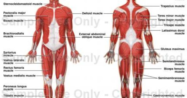 anatomy | maybe a doctor? | pinterest | muscle, love and muscle, Muscles