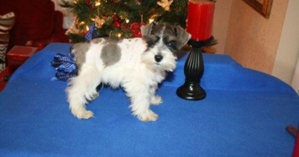Royal T Schnauzers Tiny Schnauzer Puppies For Sale Schnauzer Puppy Puppies For Sale Puppies