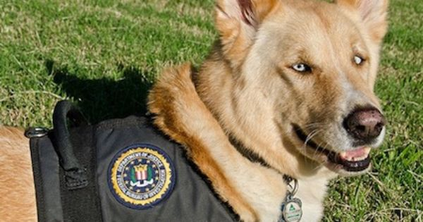 Meet Dolce The Fbi S First Therapy Dog Video With Images