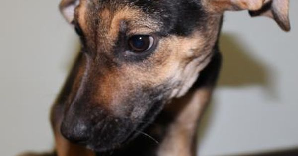 Lisa Is A Female German Shepherd Puppy Available At Greenville