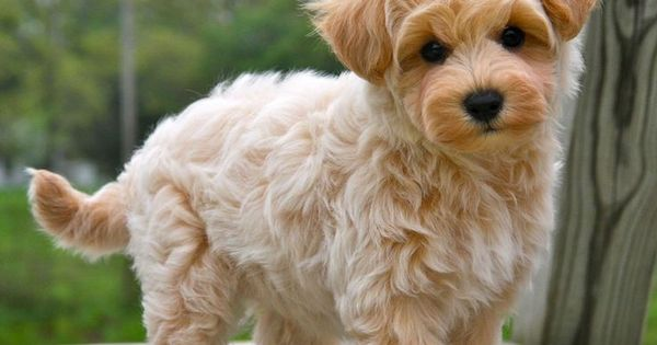 Maltipoo Puppies For Sale California Houston Tx Maltipoo Puppy Maltipoo Puppies For Sale Puppies