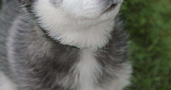 Siberian Husky by valerie dog husky animal
