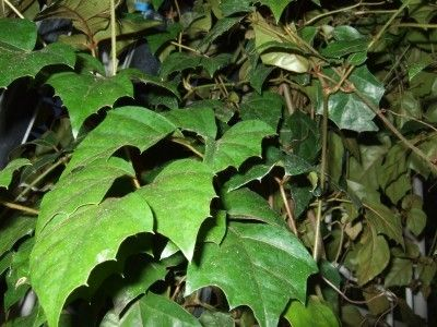 Grape Ivy Growing: Information On Caring For Grape Ivy Indoors