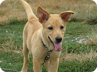 Golden Retriever German Shepherd Dog Mix Puppy I Want Him