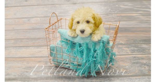 Puppies For Sale In Michigan Check Out Our Pet Store Novi