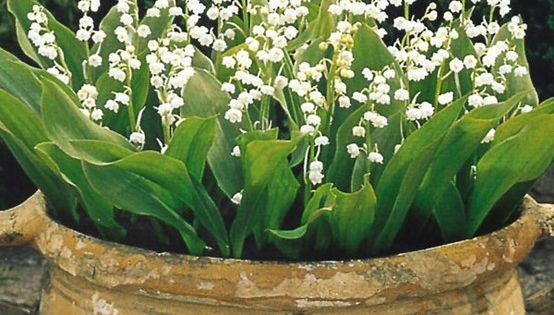 Lily of the valley in a big clay pot