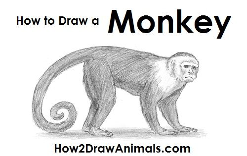 How To Draw A Monkey Monkey Drawing Monkey Art Drawings