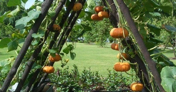 how to plant pumpkins while saving space k rbisse ziehen. Black Bedroom Furniture Sets. Home Design Ideas