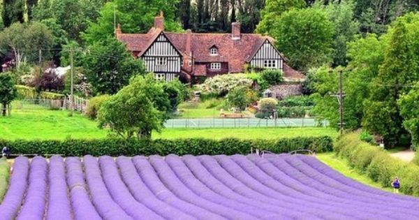 Find Me Traveling Everywhere Lavender Fields Kent Great Britain England Pinterest