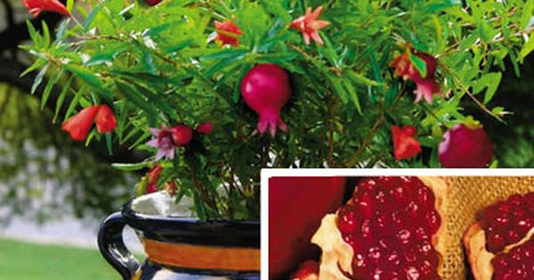 DWARF POMEGRANATE TREE - Plants that don't bloom aren't getting enough light.